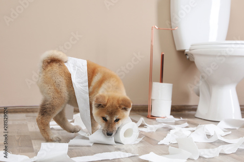 Leinwand Poster  Adorable Akita Inu puppy playing with toilet paper at home