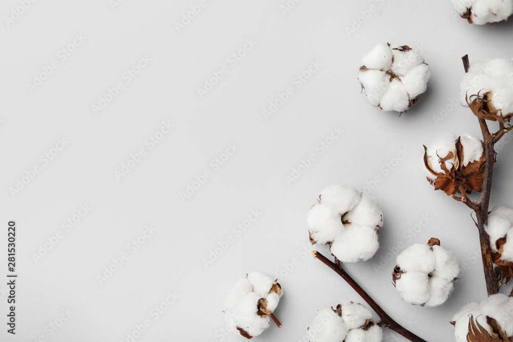 Fototapety, obrazy: Flat lay composition with cotton flowers on light grey background. Space for text