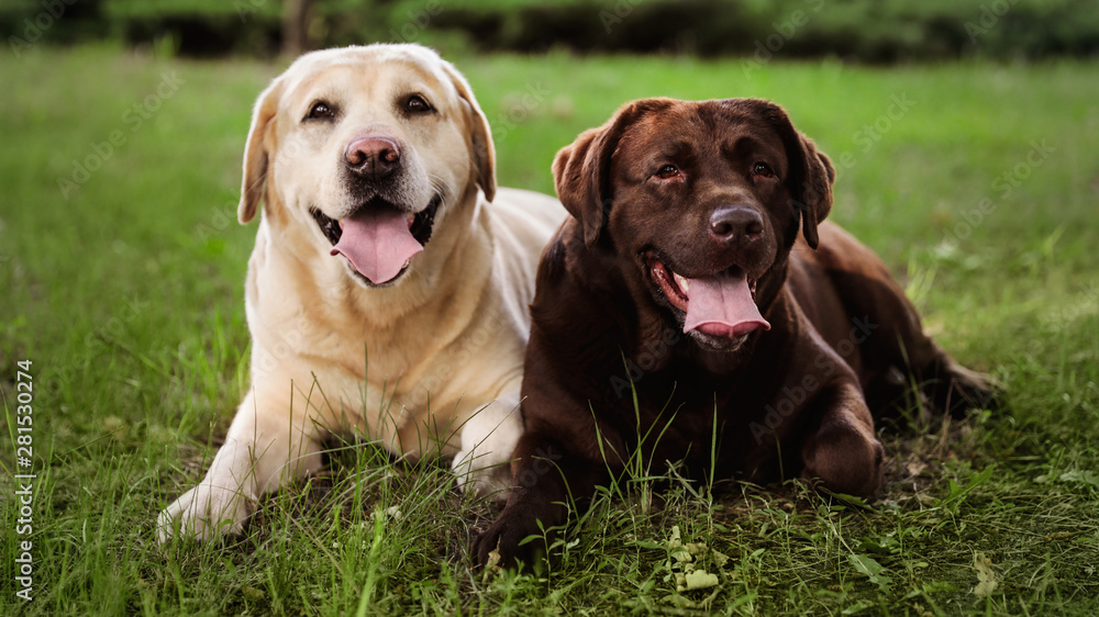 Fototapety, obrazy: Cute Labrador Retriever dogs on green grass in summer park