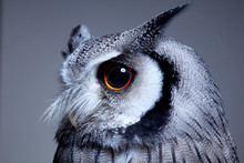Close Up Of Northern White Faced Owl