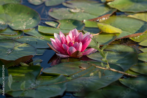 Poster de jardin Nénuphars Lotus flower on the pond water after rain. Close up photography