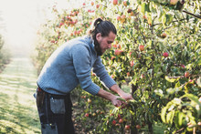 Side View Of Man Picking Apples From Tree In Apple Orchard