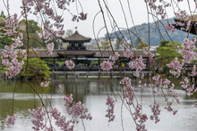 Cherry Blossoms By Lake