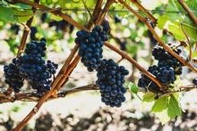 Close Up Of Black Grapes In Vineyard