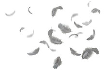 Grey Feathers Floating In The Air, Withe Background
