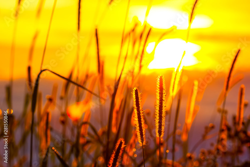Photo Stands Yellow Grass flowers and sunlight in the morning in Phu Tubberk, Thailand