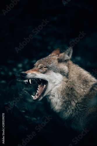 Photographie Vertical closeup shot of a wild wolf growling or roaring in Teutoburg Forest, Ge
