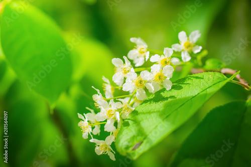 Deurstickers Lelietje van dalen Branch of flowering bird cherry in white flowers