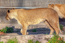 Young Lioness In A Cage