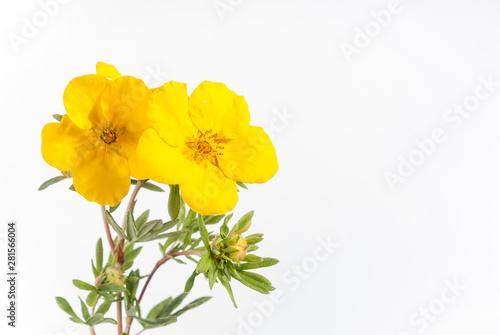 Valokuvatapetti Potentilla Plant - Goldstar - Banner