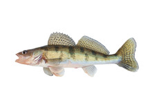 Pikeperch Isolated On White Ba...