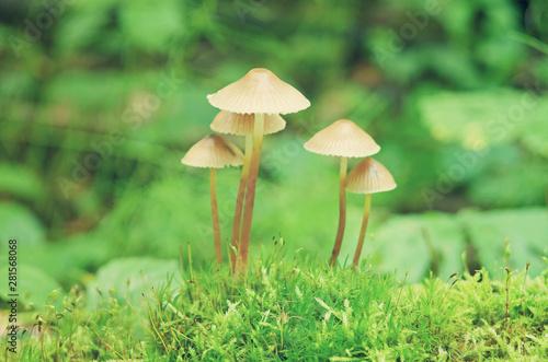 Obraz na plátně  Bunch of forest fungi grows over moss
