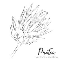 Protea Sketch Floral Botany Collection. Sugarbushes Flower Drawings. Black And White With Line Art On White Backgrounds. Hand Drawn Botanical Illustrations. Vector Sketch .