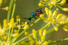 Chrysis Ignita Or Ruby-tailed Wasp