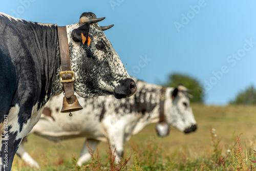 Papiers peints Vache Vache vosgienne dans un pâturage