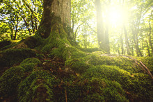Tree Moss Roots And Sunshine In A Green Forest
