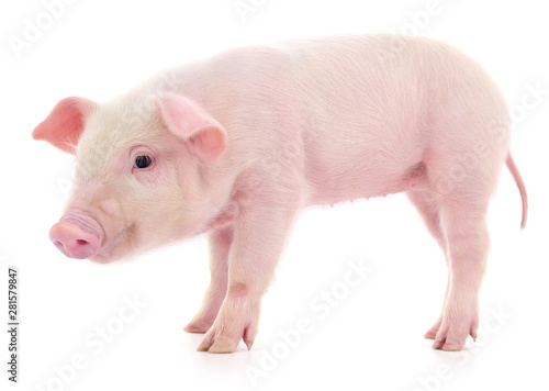 Fotomural  Pig on white