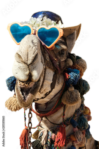 Spoed Fotobehang Kameel Laughing camel head, isolated. Egypt camel dressed for animation