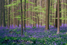 Blooming Bluebells Cover Forest In Spring