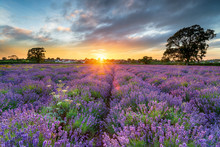 Sunset Over Beautiful Fields Of Lavender