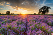 Stunning Sunset Over Fields Of Lavender In Somerset