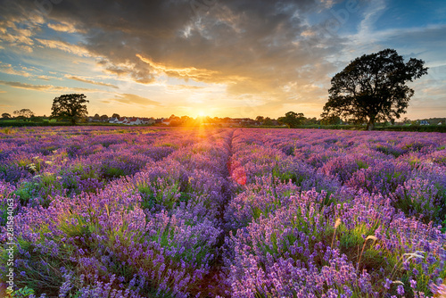 Stunning sunset over fields of Lavender in Somerset - 281584063