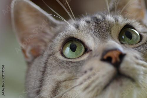 サバトラ猫 Canvas Print