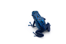 The Blue Poison Dart Frog Isolated On White Background