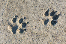 Two Footprint Of A Dog On Ceme...