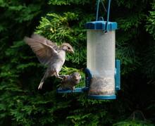 Sperling,Spatz,Sparrow,Singvogel,Songbird