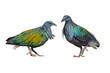 Beautiful nicobar pigeon or nicobar dove isolated on white background