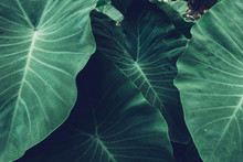 Tropical Giant Taro Leaf Texture Concept Nature Dark Green Background