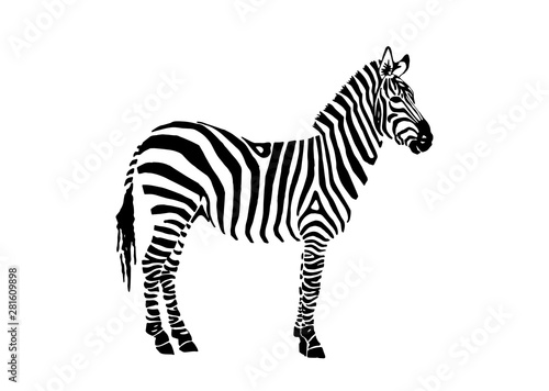 Graphical zebra staying isolated on white background,vector illustration,sketch - 281609898