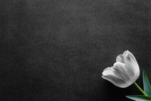 One Fresh, Tulip On Black, Dark Background. Condolence Card. Empty Place For Emotional, Sentimental Text, Quote Or Sayings.