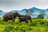 Fototapeta Sawanna - Elephants, Minneriya National Park, Sri Lanka.
