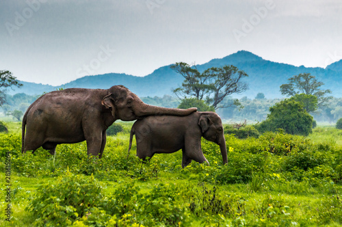 Elephants, Minneriya National Park, Sri Lanka. Wallpaper Mural