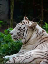 White Siberian Tiger In Captiv...