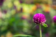Button Flower (gomphrena) Is A...