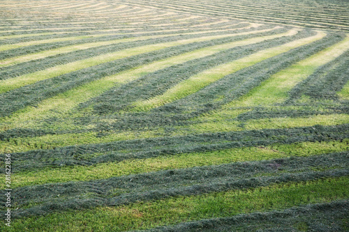Agricultural ,green,grass, summer striped background. Wallpaper Mural