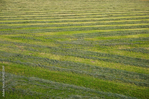Photo  Agricultural ,green,grass, summer striped background.