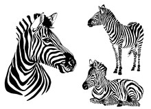 Graphical Collection Of Zebras...