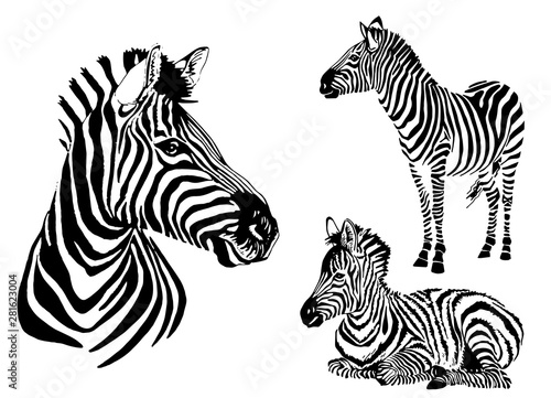 Graphical collection of zebras, white background, vector tattoo illustration,eps10 - 281623004