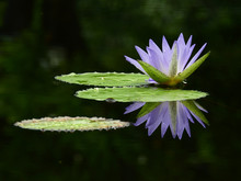 Purple Lotus On Water With Reflection In The Pond