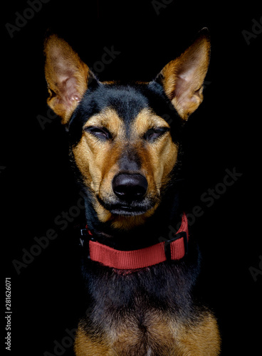 Stray mongrel rescued thai dog resting soft black background Fototapete