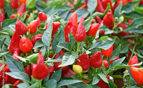 Платно Mini piment rouge