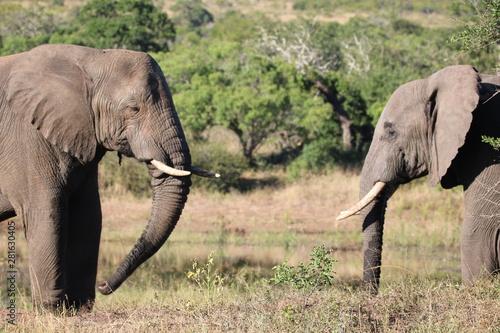 Photo Elephants side on