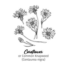 Cornflower Black Ink Vector Sk...