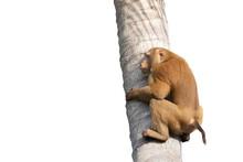A Monkey Climbing Coconut Tree...