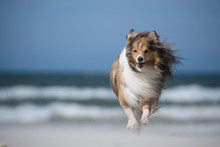 Running Dog In Wind At The Beach