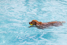 Golden Retriever Swimming In The Pool
